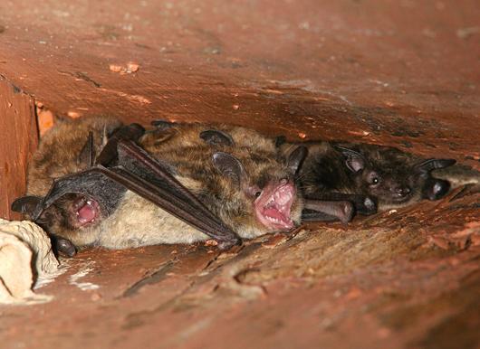 Winter Garden And Orlando Florida Bat Removal