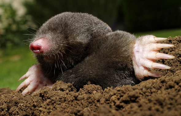 Mole Animal Wildlife Trappers Inc