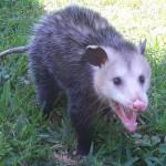 Opossum Removal Orlando FL