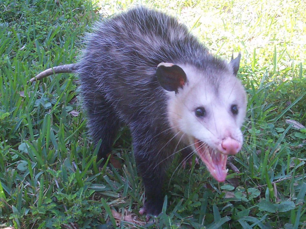Opossum Or Possum Removal Animal Wildlife Trappers Inc