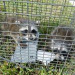 Orlando Raccoon Removal