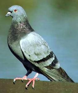 Pigeon Removal Orlando FL