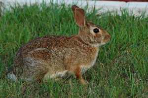 Rabbit Removal Orlando FL