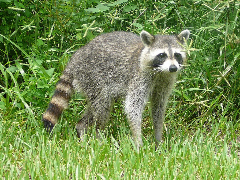 raccoon posing in high grass