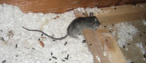 Rat Removal and Trapping