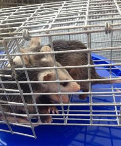 Orlando Opossum Removal