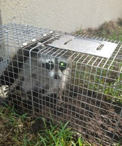 DIY Animal Traps and Removal