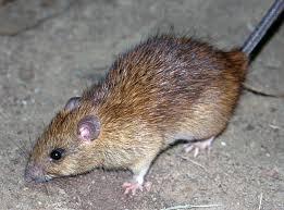 Rat Removal Orlando FL