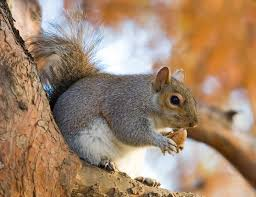 squirrel eating an acorn on a tree