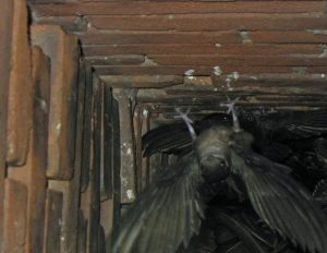 Chimney Swift Removal Orlando FL
