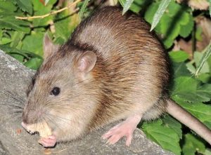 3 Common Types Of Rats In Florida Animal Wildlife