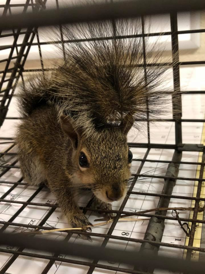 squirrel found in an Orlando home