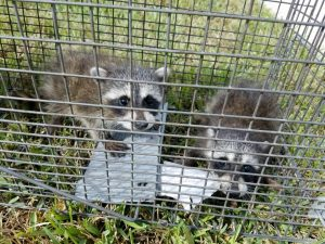 Are Raccoons Dangerous Orlando