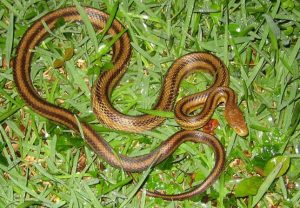 Snake Removal Orlando