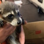 Raccoon Diseases Orlando