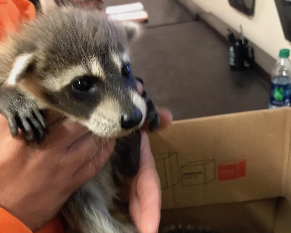 Raccoon Diseases Orlando