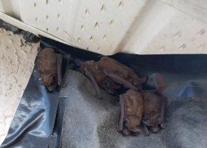 Bat Removal Orlando