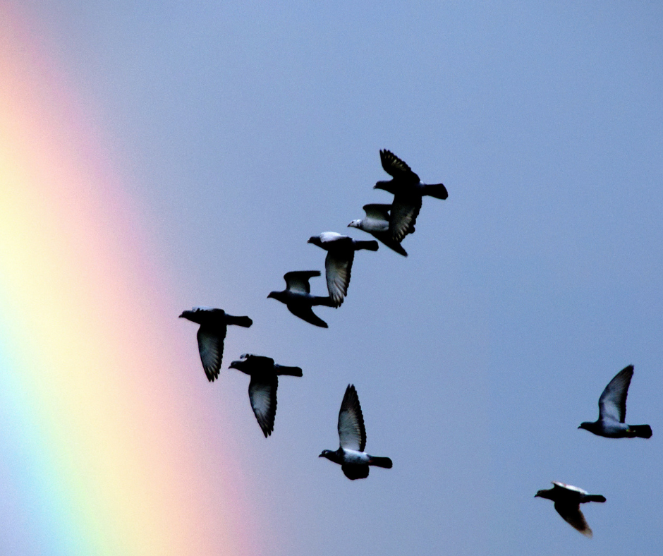 flock of birds flying past rainbow