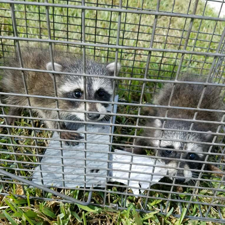 Lake County Raccoon Removal
