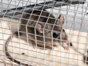 Orlando Rat Removal