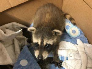 Raccoon Removal Seminole County