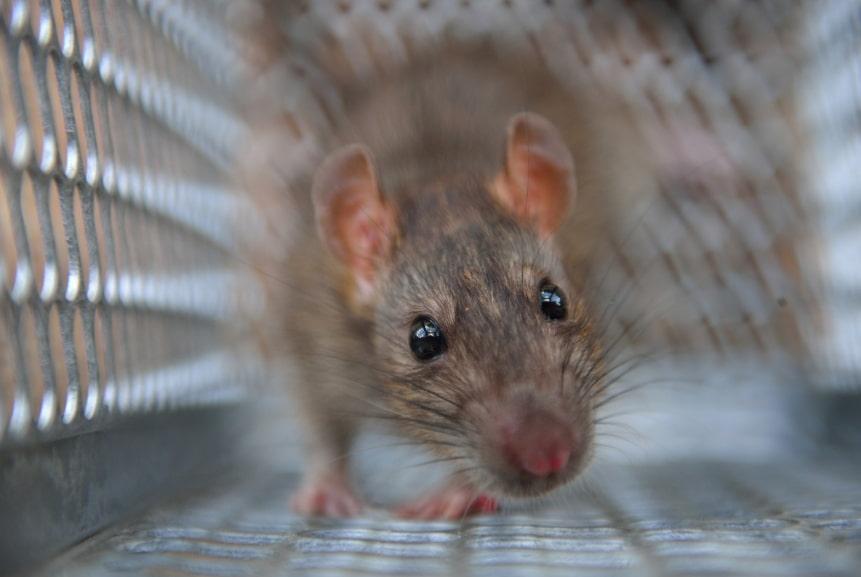 Seminole County Rat Removal