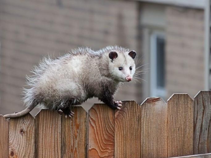 Orlando Possum Removal Services