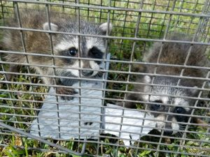 Osceola County Animal Removal