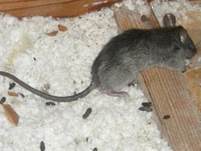 Rat Removal Osceola County