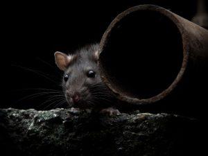Animal in Attic Removal Orlando