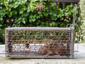 Mice Removal Bushnell
