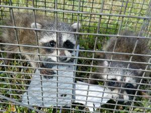 Wild Animal Trap Orlando