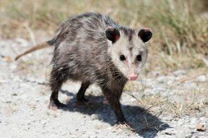 Nuisance Animal Removal Orlando