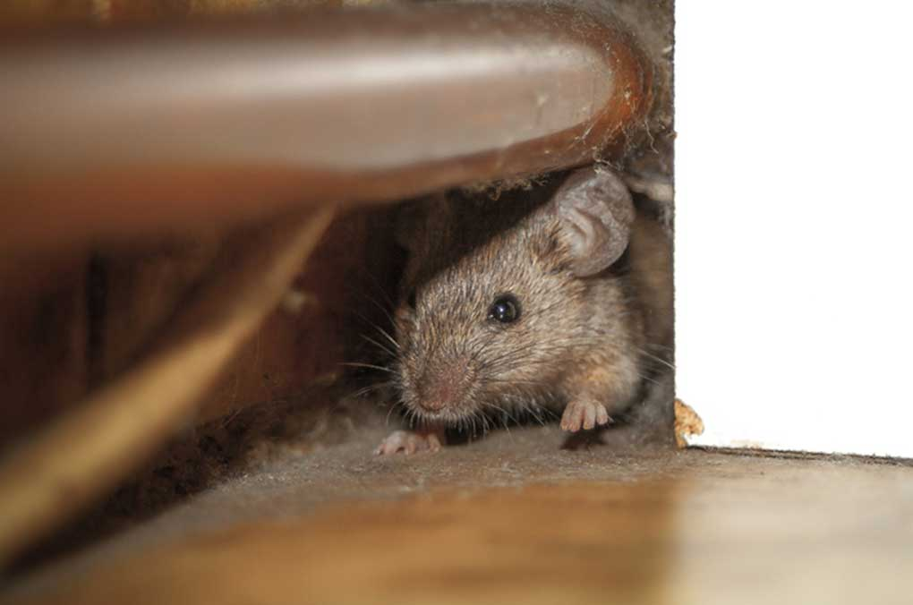 The Fastest Way To Get Rid of Rats in Your House