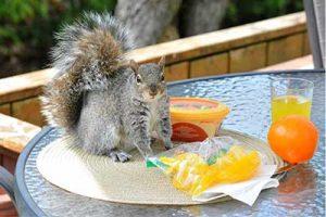 Squirrel Removal in Orlando FL