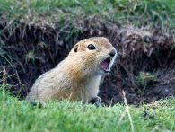How to Get Rid Of a Gopher in Your Yard?
