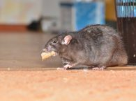 The Importance of Rat Removal Services