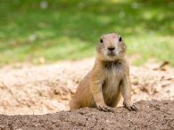What Is the Difference Between a Gopher and a Groundhog