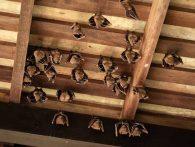 Bat Infestation Cleanup