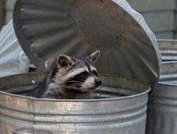 How Dangerous Are Raccoons?