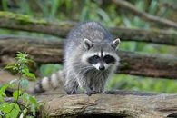 Everything You Need to Know About Raccoon Removal Service