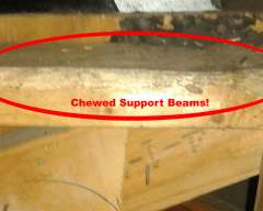 Chewed Beams