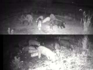 Trapped Wild Hogs Nightcam
