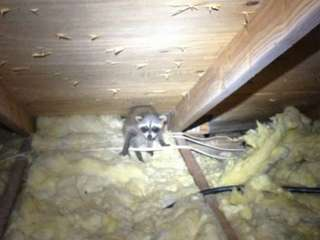 Racoon in Attic