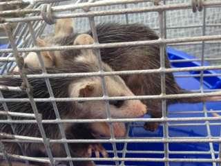 Opossum – Trapped