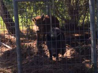 Trapped Wild Hogs